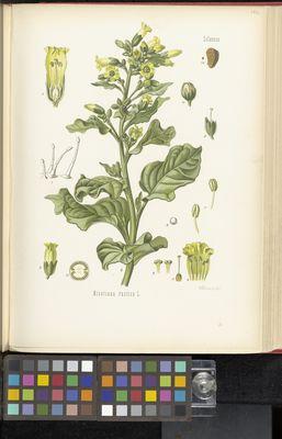 Nicotiana rustica, Köhler