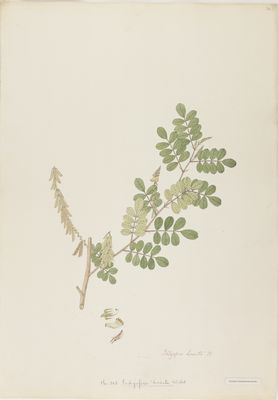 Indigofera hirsuta Willd., watercolour on paper