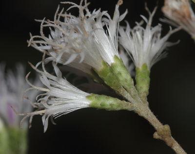 Tarlmounia elliptica