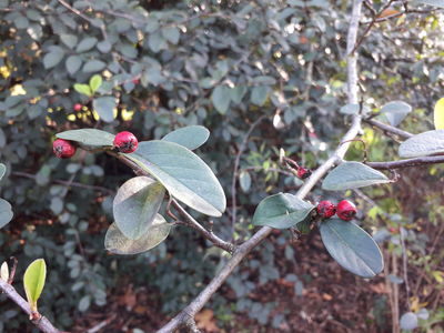 Cotoneaster omissus