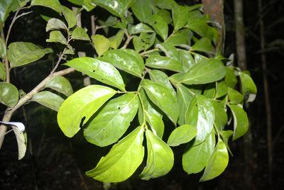 Cordia bicolor A. DC.