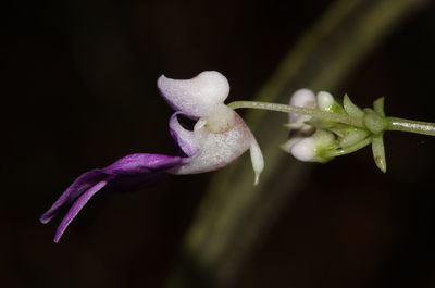 Impatiens ciliifolia subsp. ciliifolia