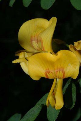Colutea cilicica