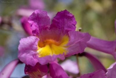 Handroanthus impetiginosus