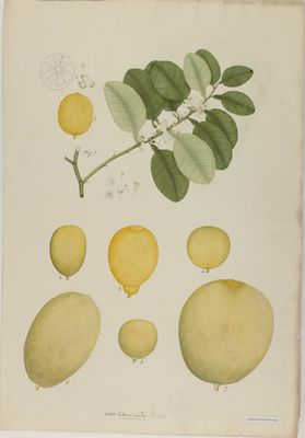 Citrus acida R., watercolour on paper