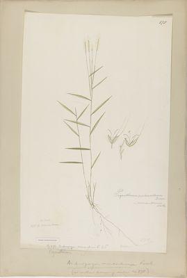 Andropogon monandrus R., watercolour on paper