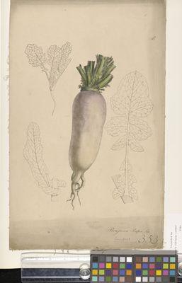 Brassica rapa (turnip)