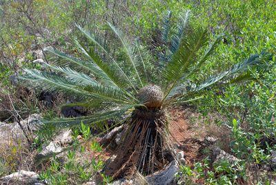 Cycas panzhihuaensis