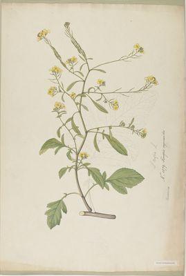 Sinapis erysimoides R., watercolour on paper