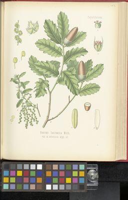 Quercus lusitanica, Köhler