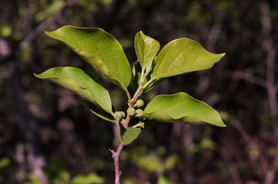 Maclura tricuspidata