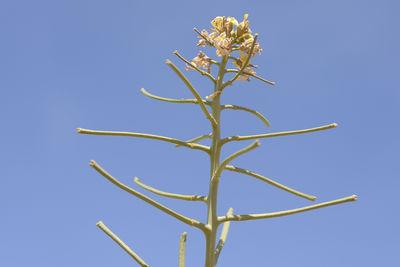Sisymbrium septulatum