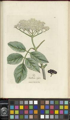 Sambucus nigra, Medical Botany, W. Woodville