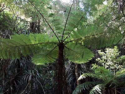 Alsophila cunninghamii