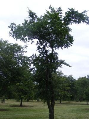Ulmus × hollandica 'Rugosa Pendula'