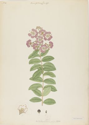 Lagerstroemia indica Willd., watercolour on paper