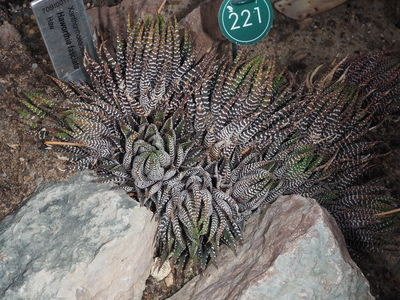 Haworthiopsis fasciata