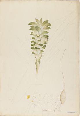 Curcuma viridiflora R., watercolour on paper
