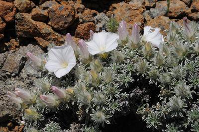 Convolvulus boissieri subsp. compactus