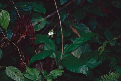 Malvaceae Juss.