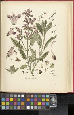 Salvia officinalis, Köhler
