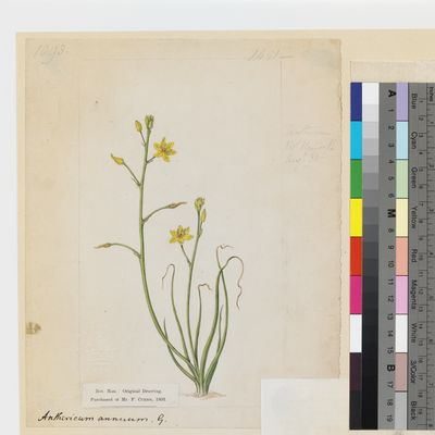 Anthericum annuum Linn. original illustration from Curtis's Botanical Magazine