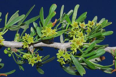 Searsia pentaphylla