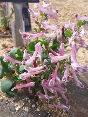 Corydalis rutifolia
