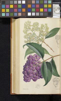 Acmena floribunda, Fitch