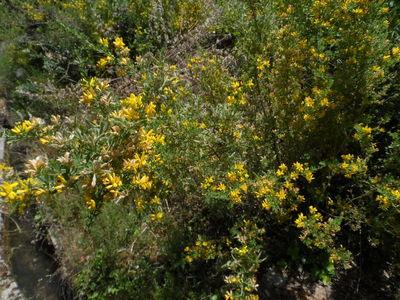 Cytisus syriacus Boiss. & Bl.