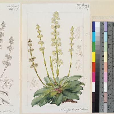 Crassula rosularis Harv. original illustration from Curtis's Botanical Magazine