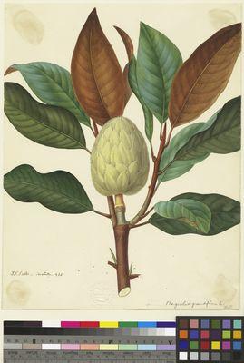 Magnolia grandiflora, Pretre