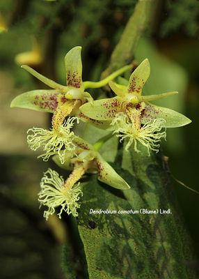 Dendrobium comatum