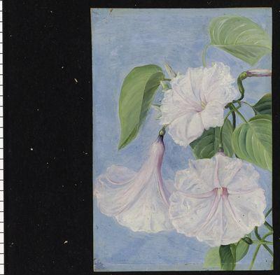 158. Flowers of a Shrubby Convolvulus, Jamaica.