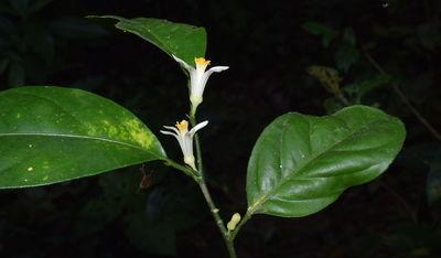 Citrus indica