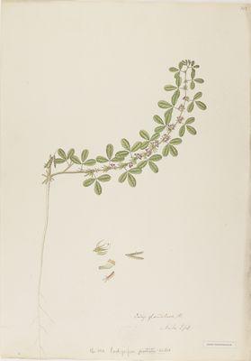 Indigofera prostrata Willd., watercolour on paper