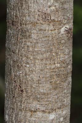 Lannea coromandelica