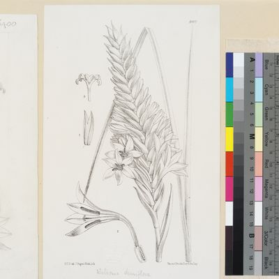 Watsonia densiflora Baker published illustration from Curtis's Botanical Magazine