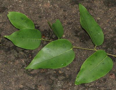 Hopea brevipetiolaris