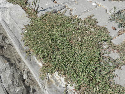 Polygonum aviculare
