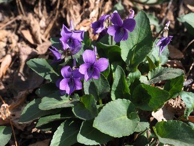 Viola prionantha