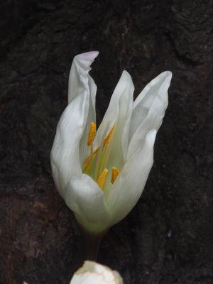 Colchicum autumnale 'Alba'
