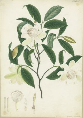 Michelia cathcartii, by Indian artist emplyed by J. F. Cathcart