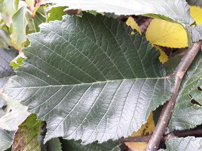 Ulmus × hollandica 'Serpentina'