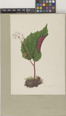 Parvibegonia (Begonia sinuata)