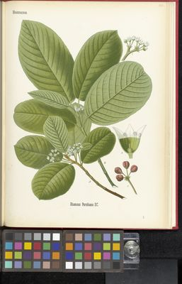 Rhamnus Purshiana, Köhler
