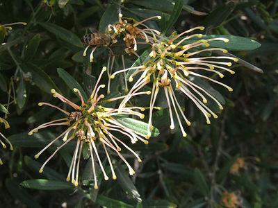 Grevillea oleoides