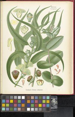 Eucalyptus globulus, Köhler