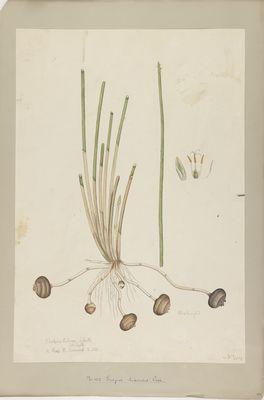 Scirpus tuberosus R., watercolour on paper