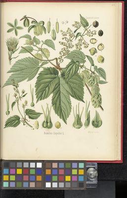 Humulus lupulus, Köhler